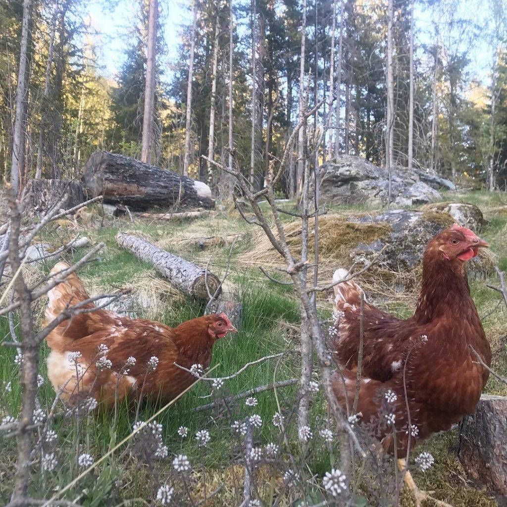 Lohman Brown Tavukları