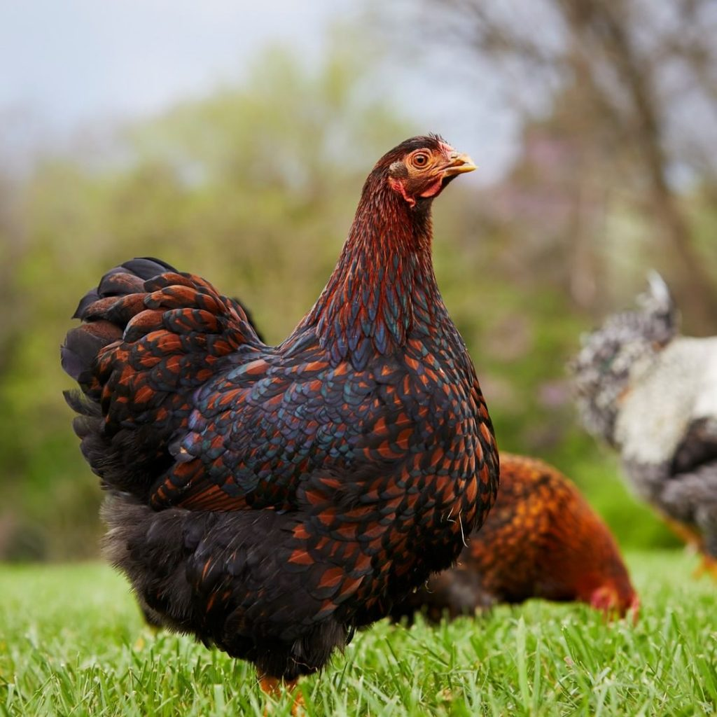 Wyandotte Tavukları